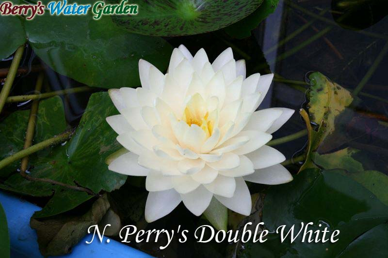 N.Perry's Double White