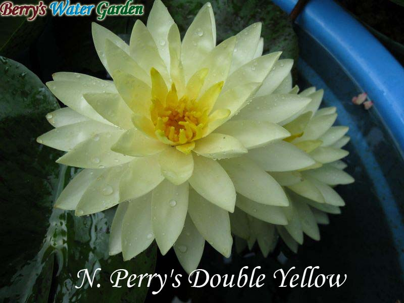 N.Perry's Double Yellow