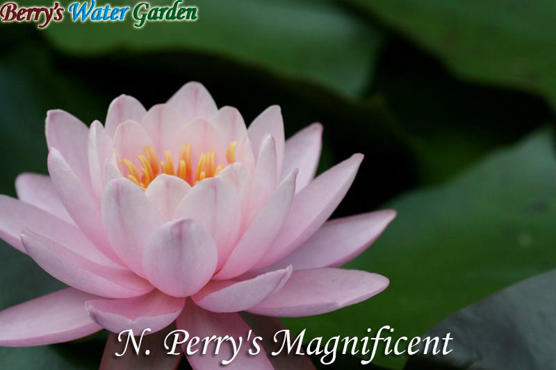 N.Perry'sMagnificent