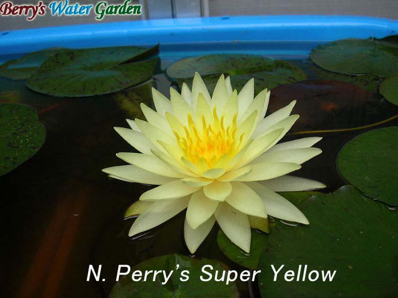 N.Perry's Super Yellow