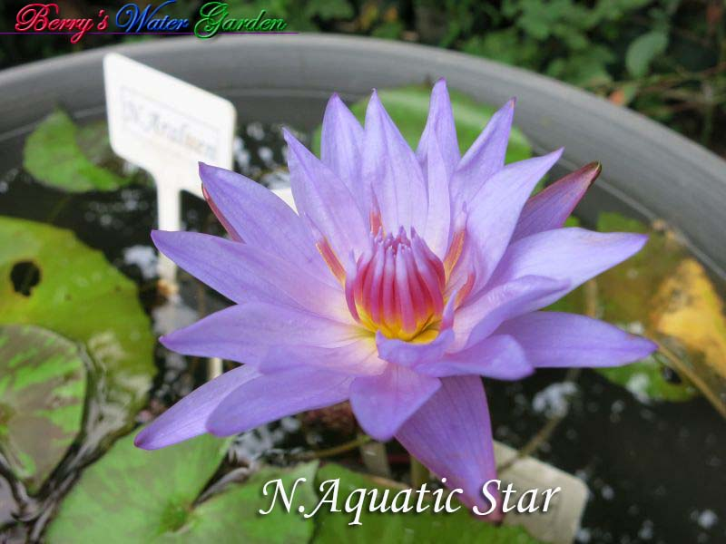 N.Aquatic Star