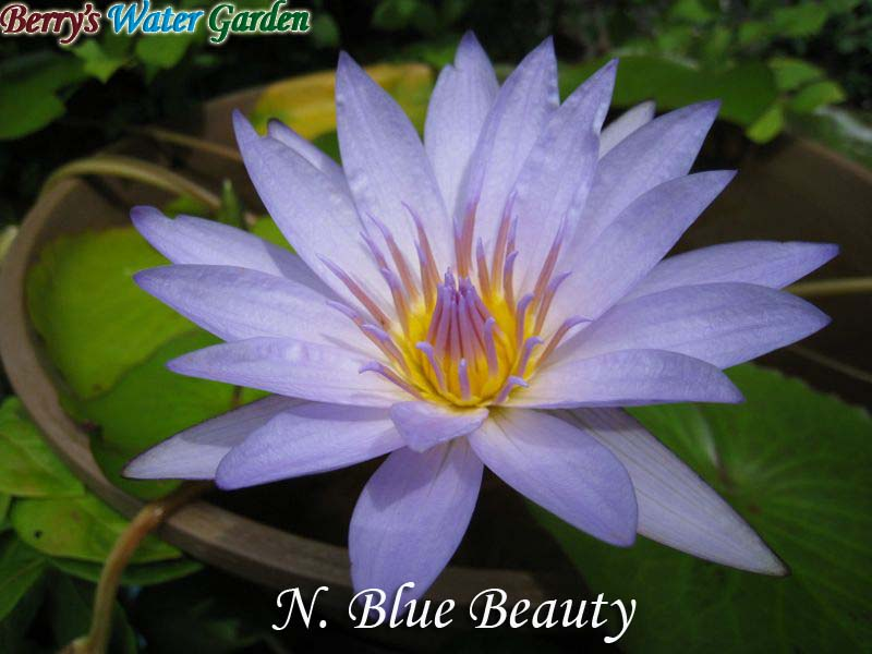 N.Blue Beauty