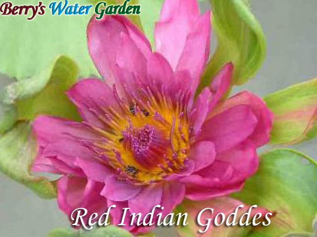 N.Indian Goddes (Red)