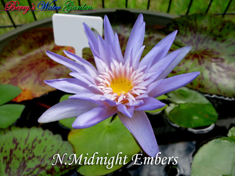 N.Midnight Embers