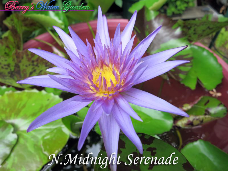 N.Midnight Serenade