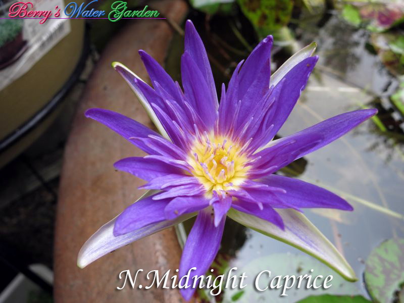 N.Midnight Caprice