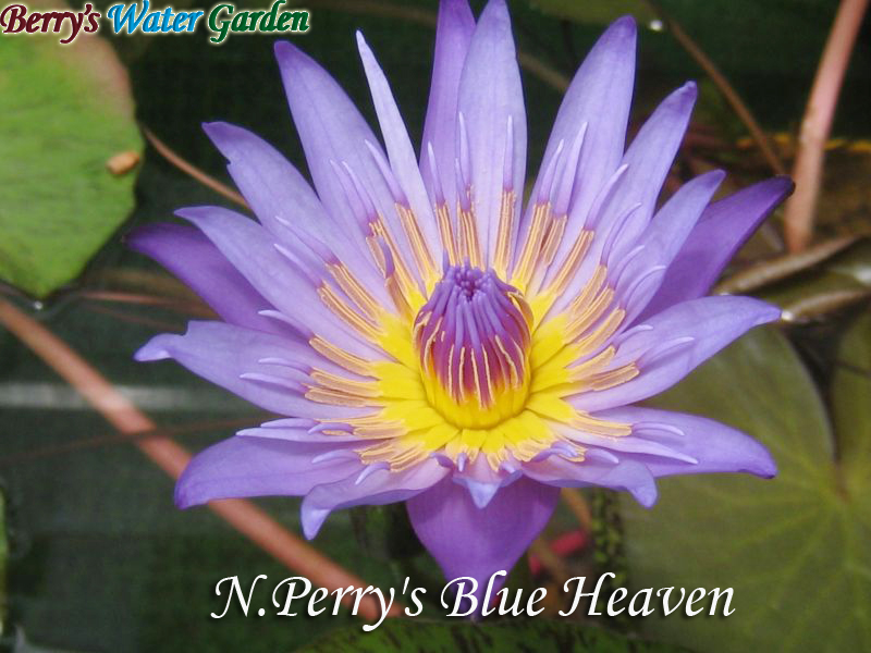 N.Perry's Blue Heaven
